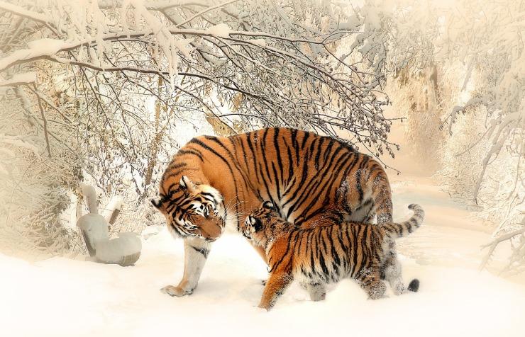tiger-591359_1920