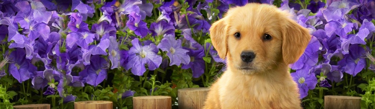 cute-canadian-labrador-puppy-with-pink-flowers-background-header